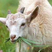 Benefits of Organic Raw Goat Milk
